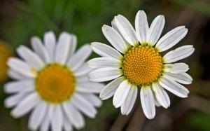 manzanilla flower3